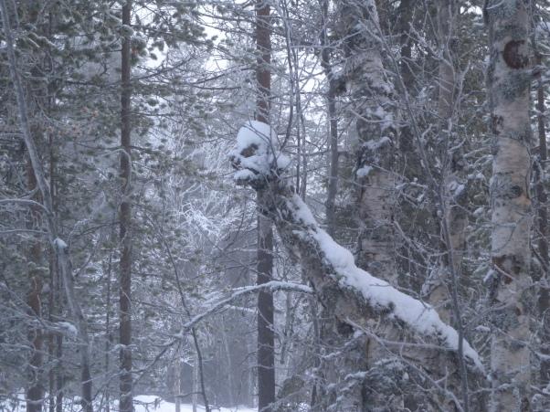 Hirviö, käärme vai vihainen  naama Metsässä Lapissa 050