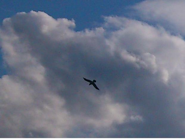 Lintu pilvessä.