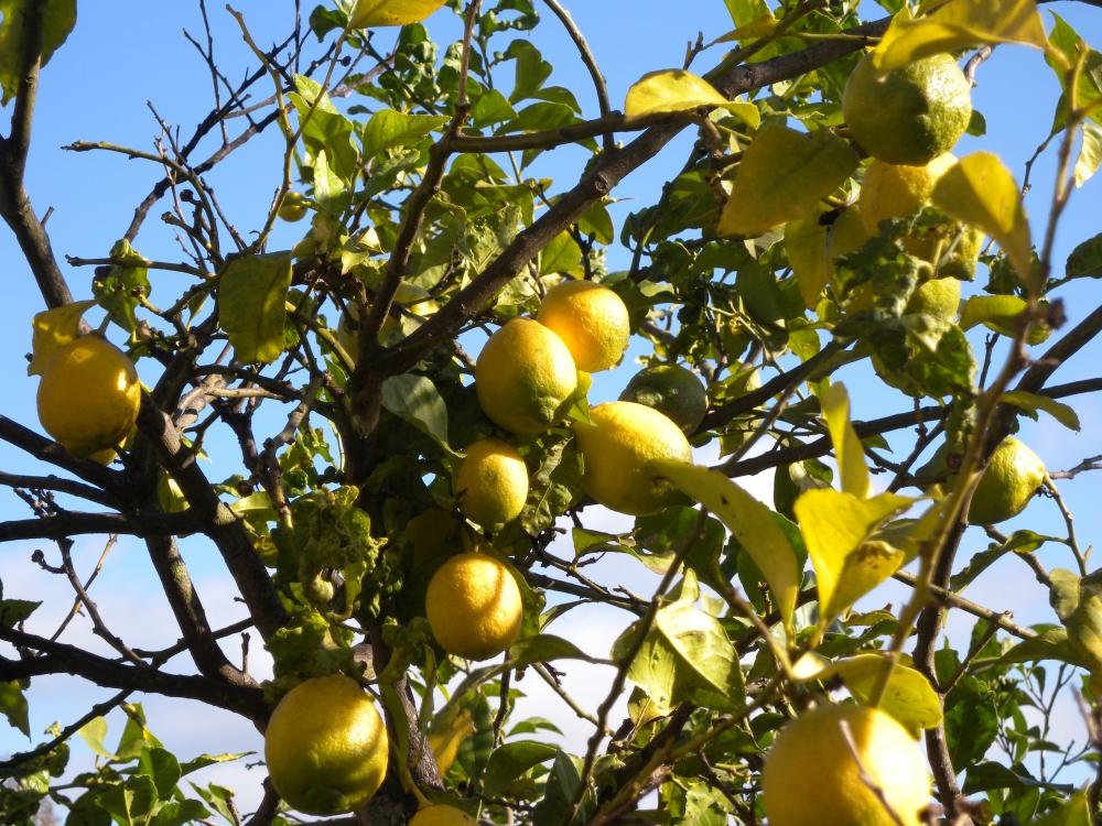 Sitruunat kypsyvät.