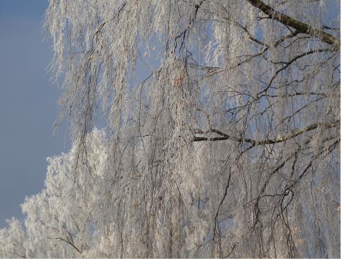 Jäätävä tuuli saa huurtumaan puut.