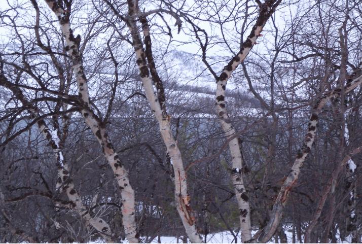 Käkkyräkoivuja Kaamasen tiellä.