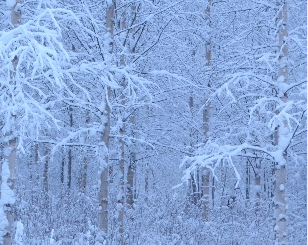Lumikoivikko sinisenä hetkenä.