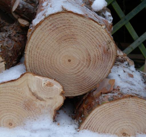 Vuosirenkaista  eli vuosilustoista voi laskea puun iän.