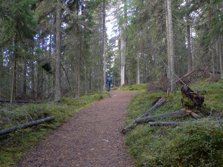 Kävelen lumesta tyhjenevään metsään.