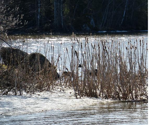 Jäätä ja rantakaislikkoa poukaman pohjoisrannalla. Narva 1.5.2013.