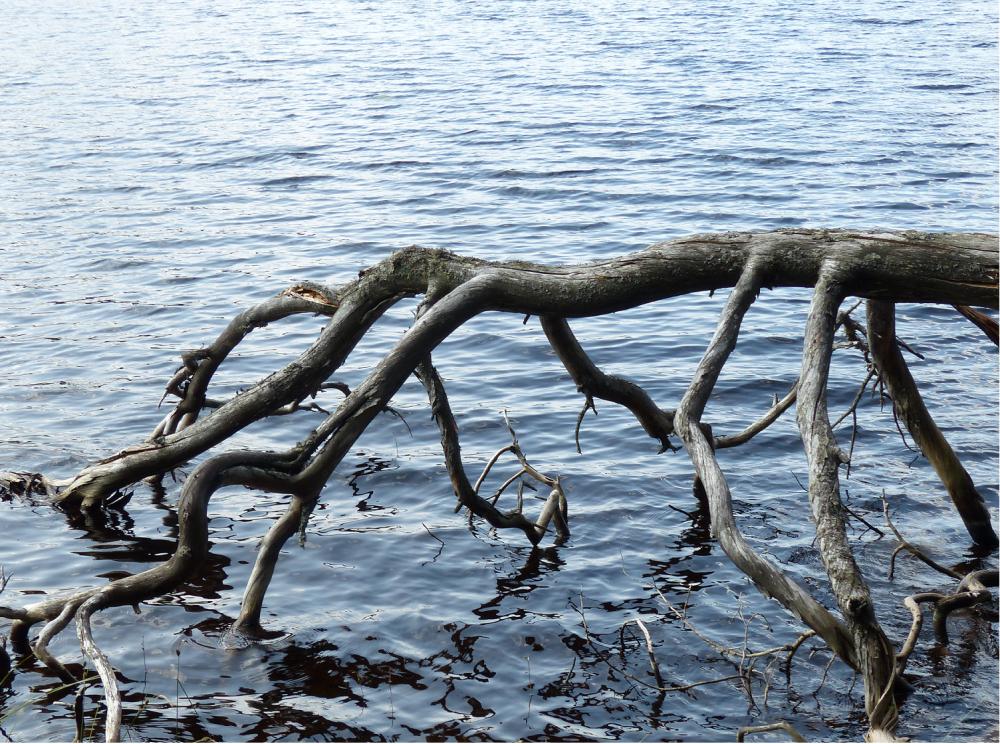 Iso mustekala Petkeljärven puuta.