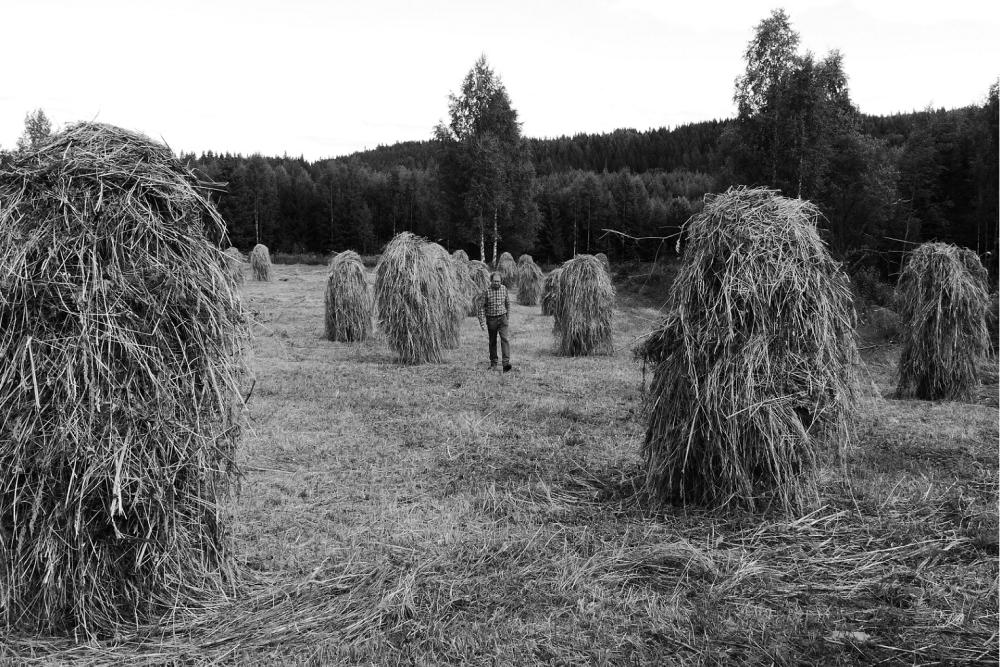 Maamies pellollaan.