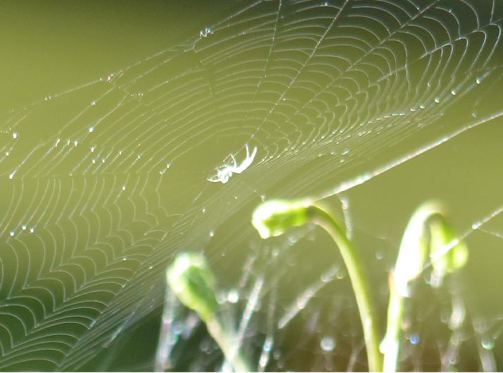 Hämähäkki kudontahommissa.