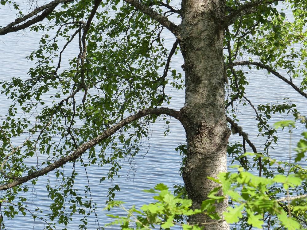 Puu rannalla