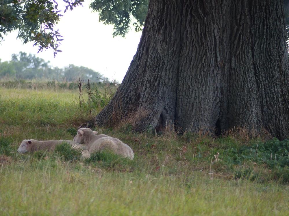 Lammaspariskunta nukkuu tukevan rungon lämmössä.