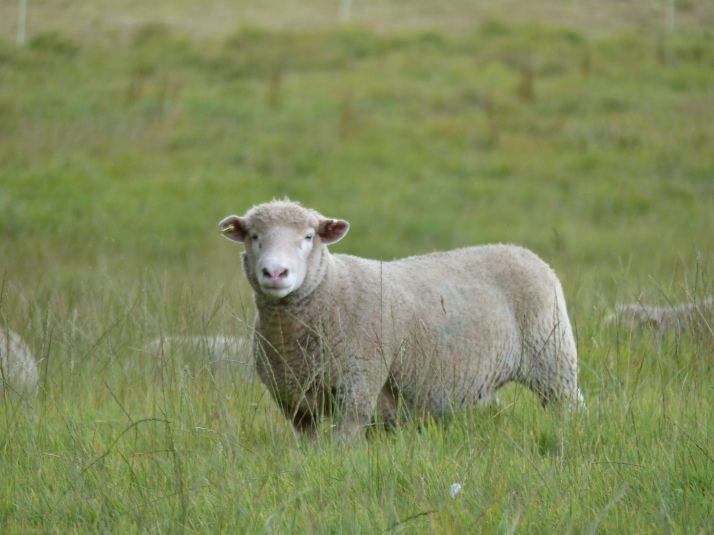 Lempeä lammas.