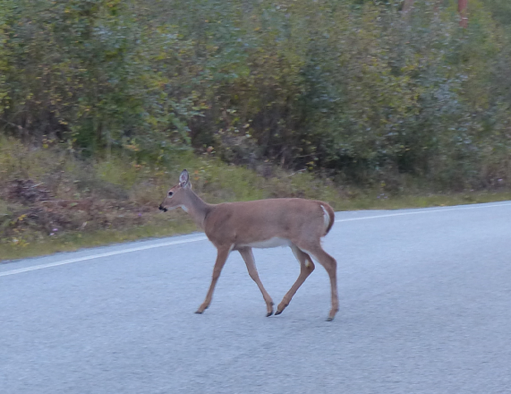 Peura ylittää tien.