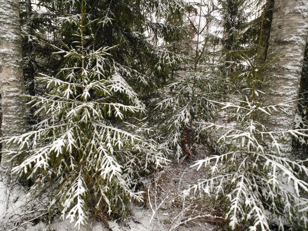 Mestsän puita