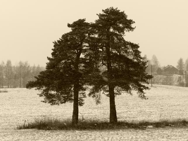 Kaksi vanhaa puuta.