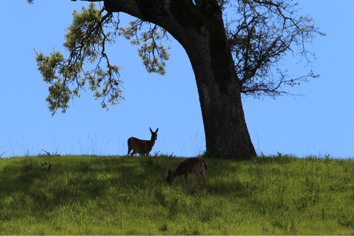 Peurat puun alla Petalumassa, Kaliforniassa.