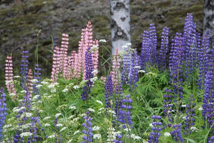 Kukat kesäiset ja runko2014-06-22 11.51.31