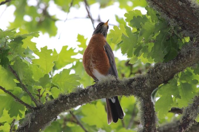 Kalifornialainen lintu, jonka nimeä en tiedä.