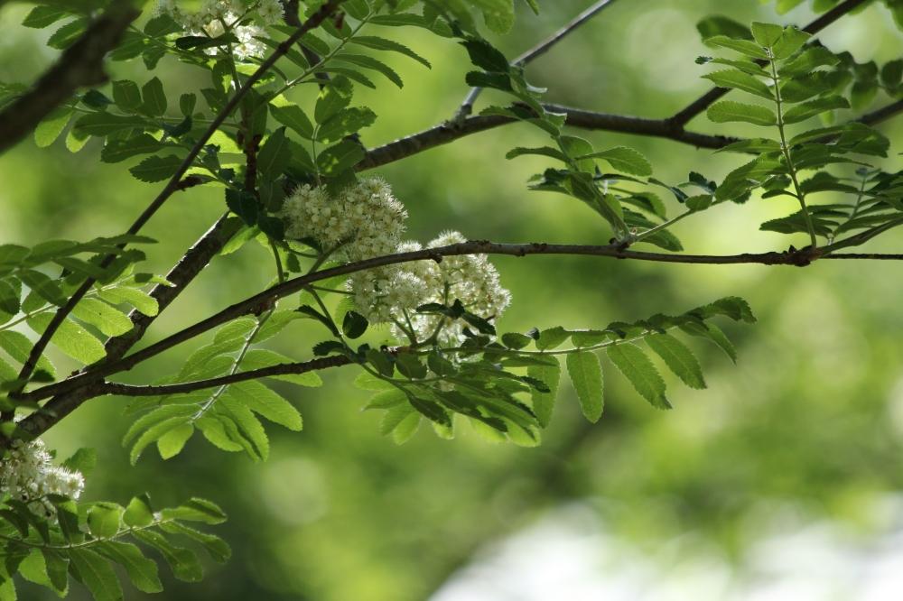 Pihlajan kukka