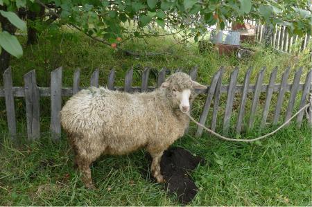 Klavdian lammas.