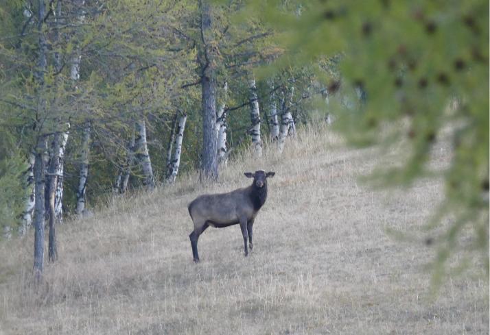 Maraali eli Siperian hirvi tuijottaa hieman varauksellisesti.
