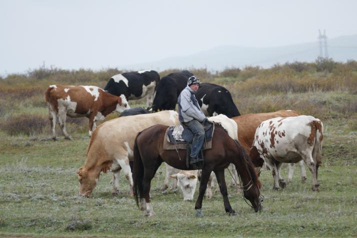 Lehmipaimen töissä.
