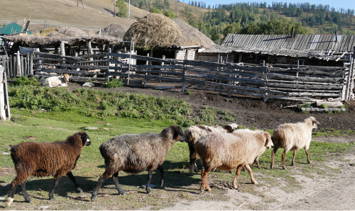 Lepäävä lehmä seurailee lampaiden marssia kotiaitaukseen.