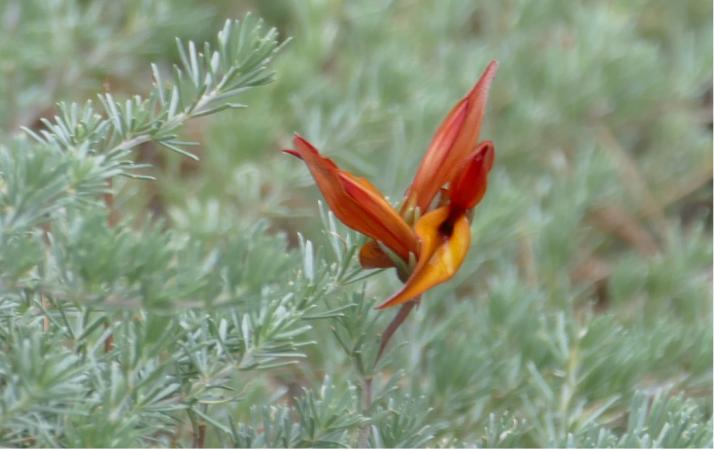 Lotus Pyranthus.