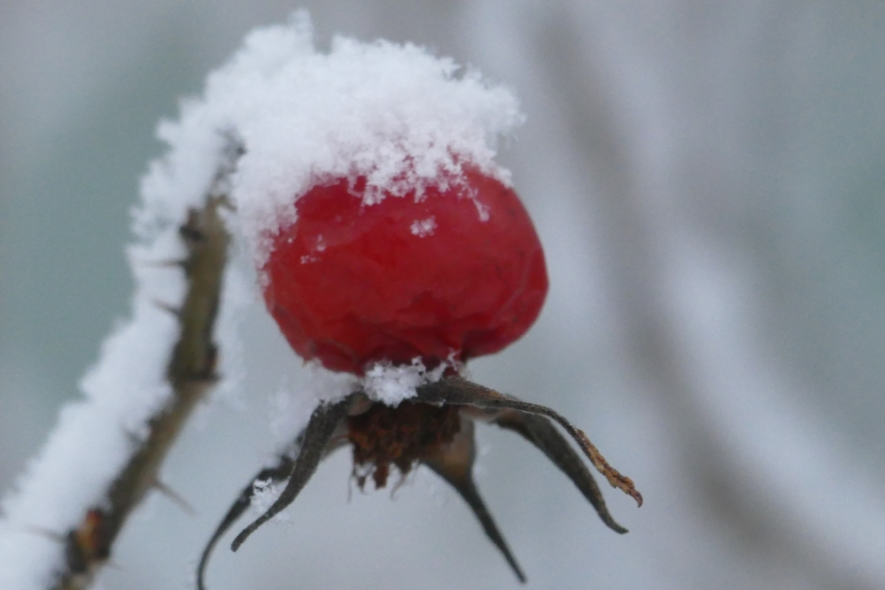 Ruusunmarja lumessa
