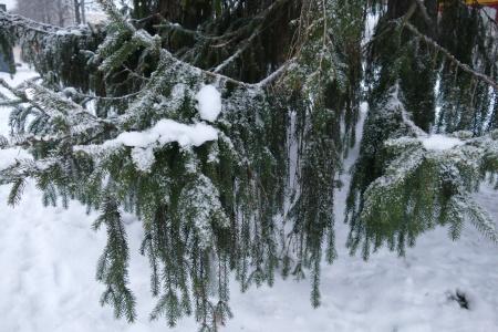 Talvea kuusessa