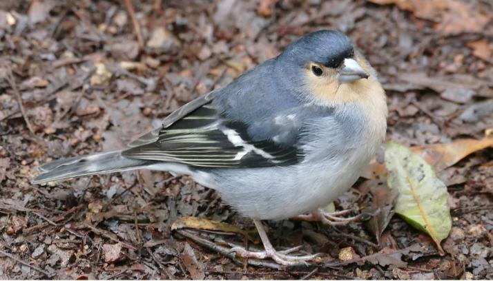 Tämä lintu asuu La Palman saarella.