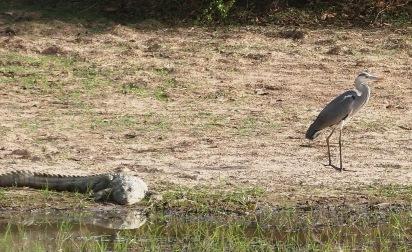 Pen krokotiili ja lintu