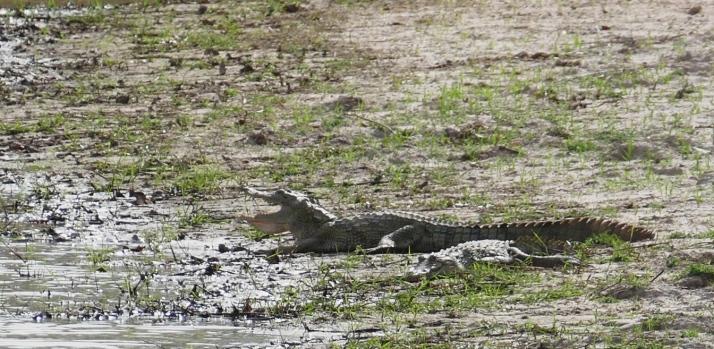 Pen krokotiili rannalla